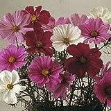 Flora Fields Cosmos - Bipinnatus Mix