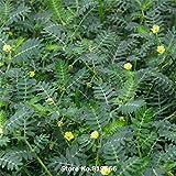 Real Chinese Tribulus Terrestris Seeds Medicine Herb Plant Tribulus Sementes Courtyard Bonsai Cijili Outdoor Garden...