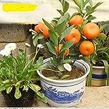Generic 10pcs/bag Balcony Patio Potted Fruit Trees Planted Seeds Kumquat Seeds Orange Seeds Tangerine Citrus
