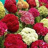Flora Fields Celosia (Coxcomb) - Tall Wool Mix