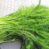 100 Seeds/pack Europe Fragrant Bulb Fennel Seeds Organic Vegetable Bonsai Plant DIY Home Garden