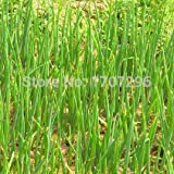 Four Seasons Small Balcony Potted Vegetable Seed Fragrant Shallot Seeds - 100 Pcs / Lot
