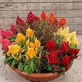 Flora Fields Celosia (Coxcomb) - Cristata Dwarf Mix