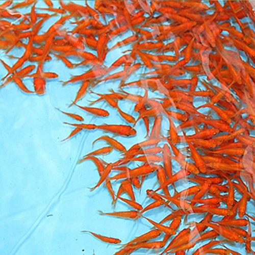 金魚  小赤 餌金 100匹 エサ用金魚にも