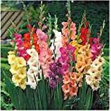 Only For Organic ! Gladiolus Little Sword Lily Bulbs! Mixed Colour Flower Bulbs! Set Of 12 Bulbs