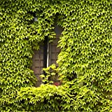 500pcs/ Lot Green Boston Ivy Seeds Ivy Grass Seed For DIY Home Garden Outdoor Plants Tree Seeds Drop Shipping...