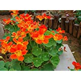 Garden Plant Semi-trailing Garden Nasturtium Seeds ,Potted Flowers Seeds Package Seed About 20 Particles Bonsai...