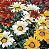Flora Fields Gazania - Dwarf Hybrids Mix