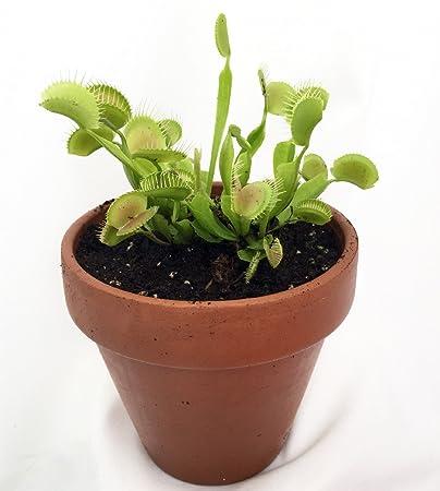 Mature Venus Fly Trap Plant - CARNIVOROUS -Dionaea-4