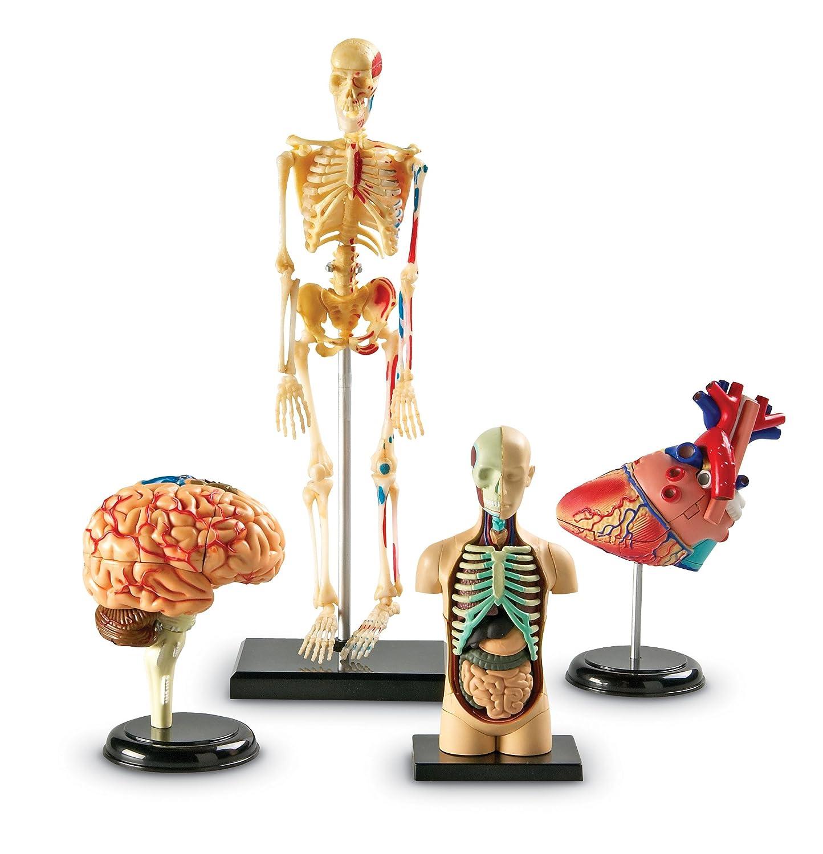 Human Body Anatomy Model Heart Brain Skeleton Organs 4d Science Lab ...